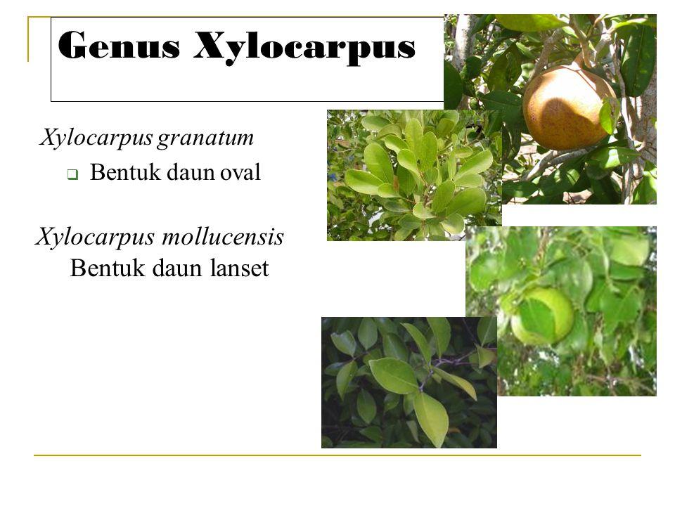 Genus Xylocarpus Xylocarpus mollucensis Bentuk daun lanset