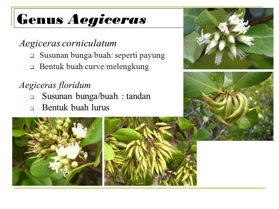 Genus Aegiceras Aegiceras corniculatum Aegiceras floridum
