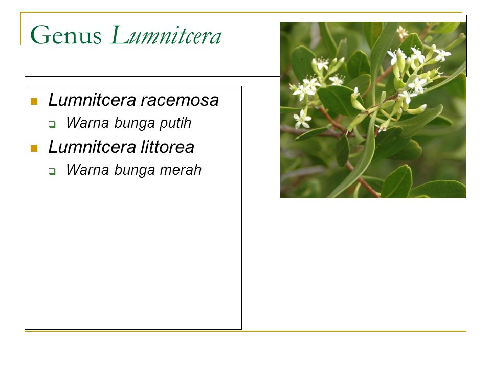 Genus Lumnitcera Lumnitcera racemosa Lumnitcera littorea