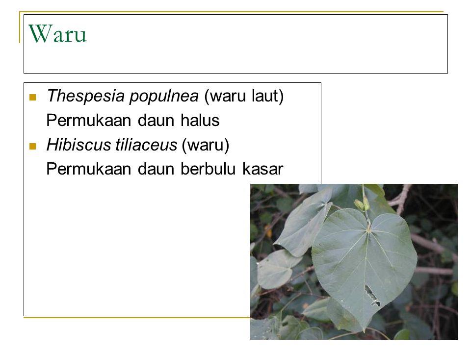 Waru Thespesia populnea (waru laut) Permukaan daun halus