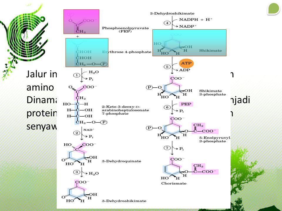 Jalur Shikimat Jalur ini merupakan jalur awal biosintesis asam amino aromatik.
