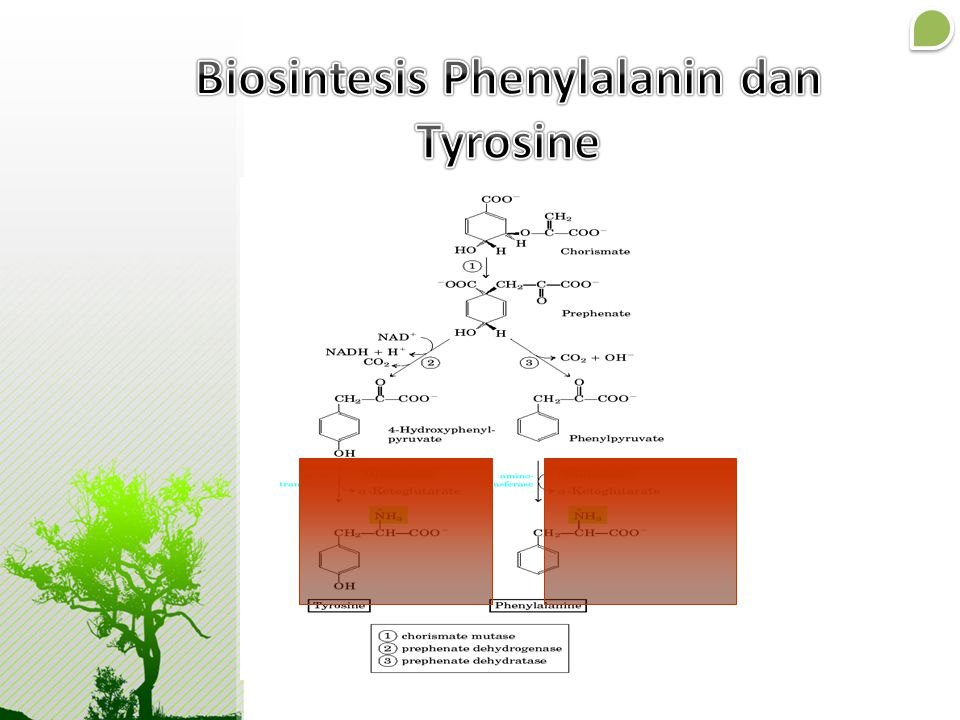 Biosintesis Phenylalanin dan Tyrosine