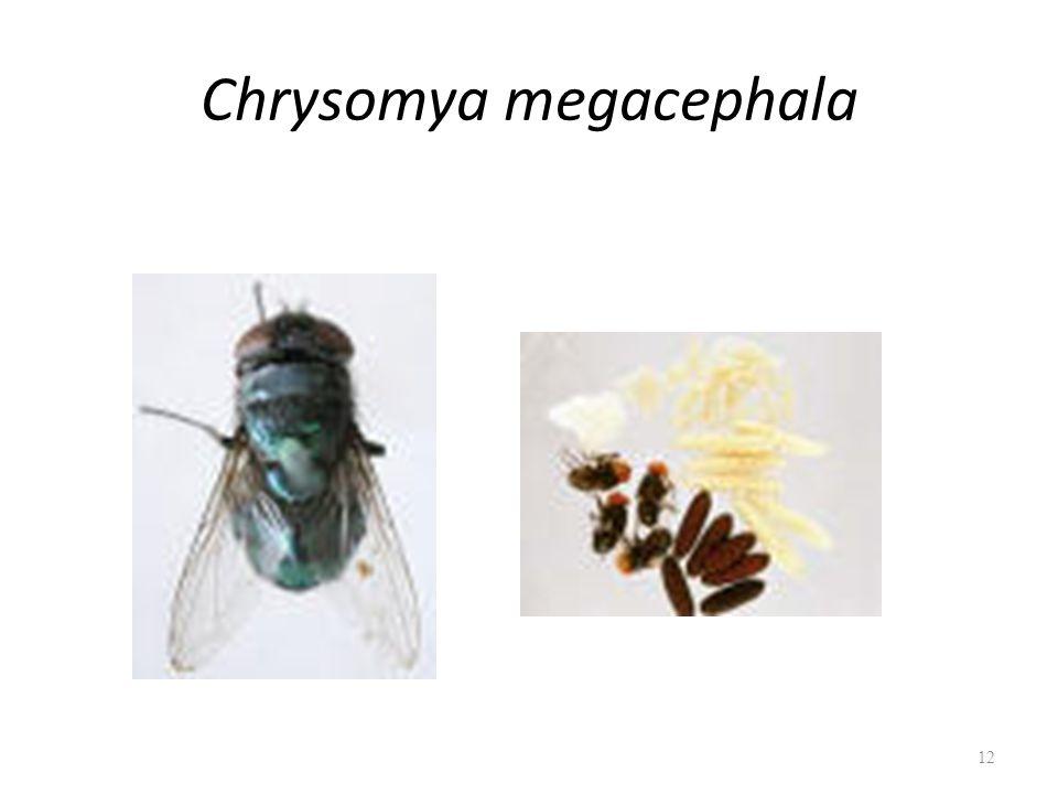 Chrysomya megacephala