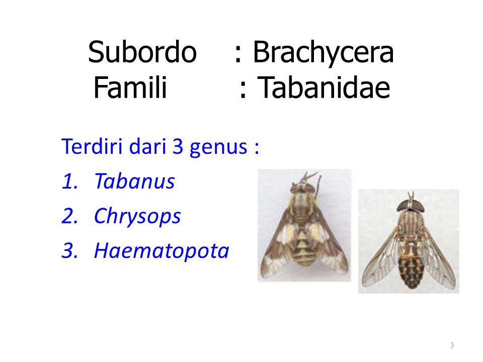 Subordo : Brachycera Famili : Tabanidae