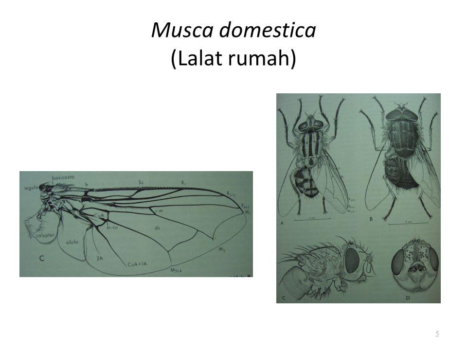 Musca domestica (Lalat rumah)