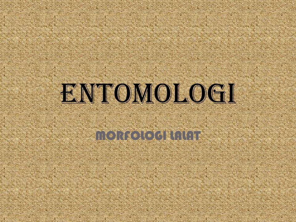 ENTOMOLOGI MORFOLOGI LALAT