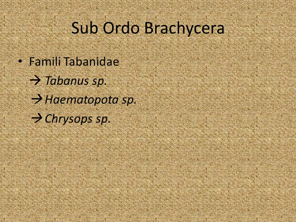 Sub Ordo Brachycera Famili Tabanidae  Tabanus sp.  Haematopota sp.