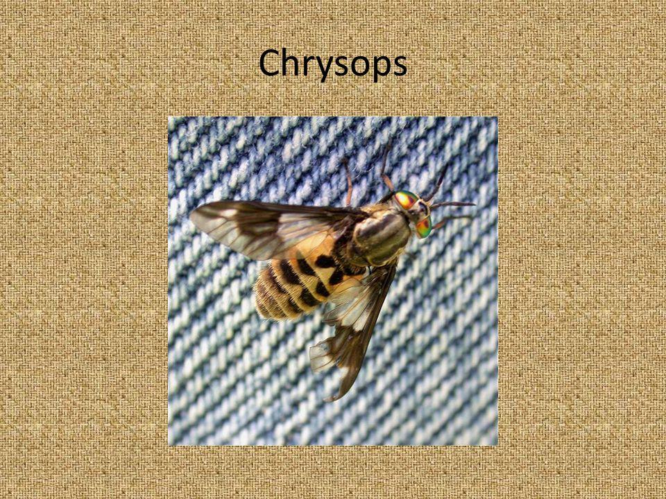 Chrysops