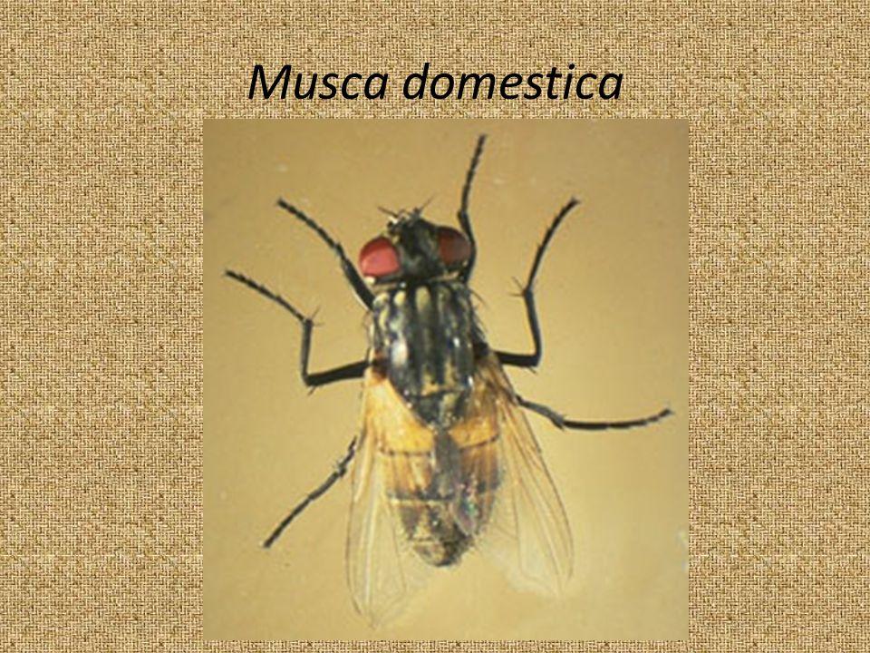 Musca domestica