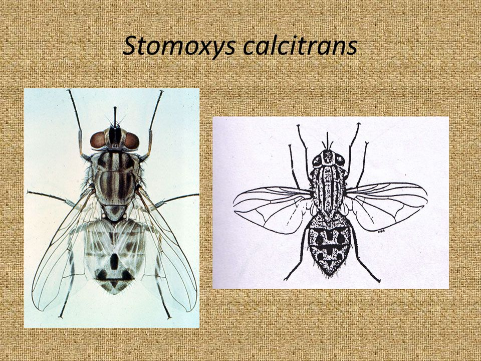 Stomoxys calcitrans