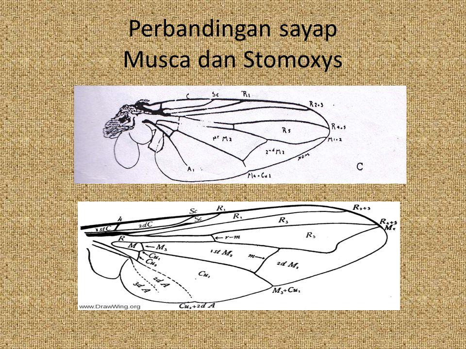 Perbandingan sayap Musca dan Stomoxys