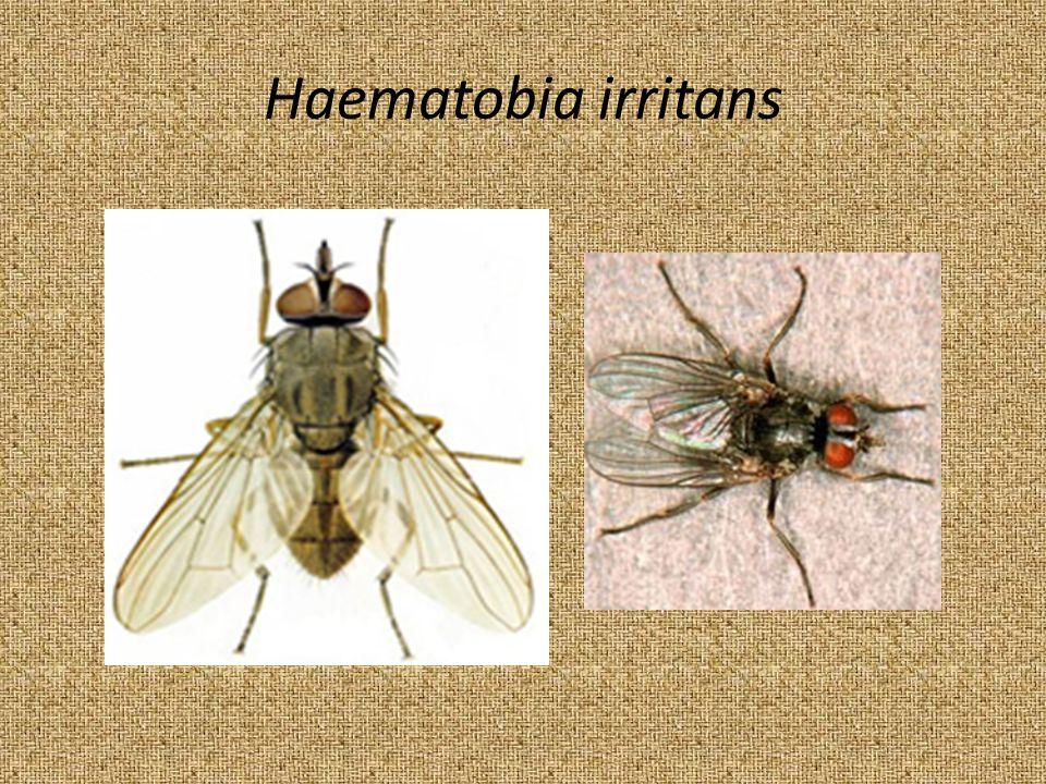 Haematobia irritans