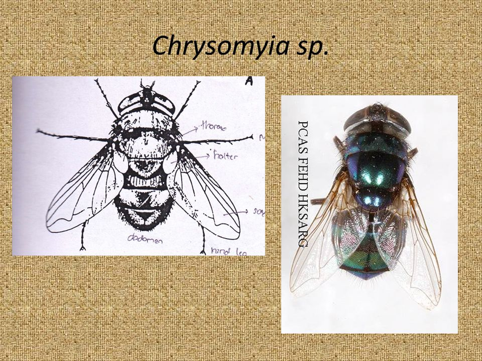 Chrysomyia sp.