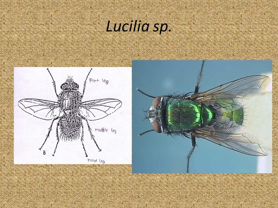 Lucilia sp.