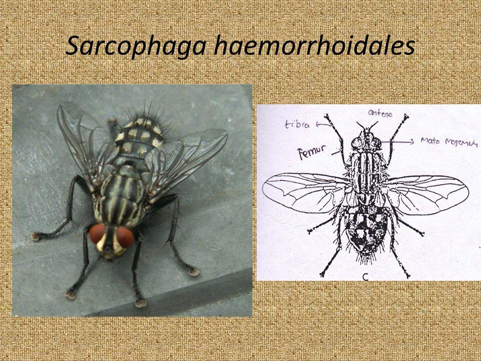 Sarcophaga haemorrhoidales