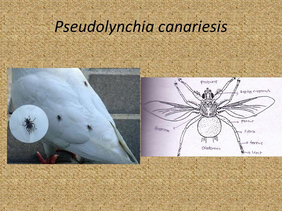 Pseudolynchia canariesis