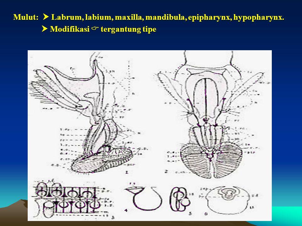 Mulut:  Labrum, labium, maxilla, mandibula, epipharynx, hypopharynx.