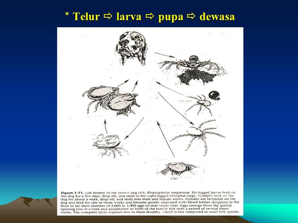 * Telur  larva  pupa  dewasa