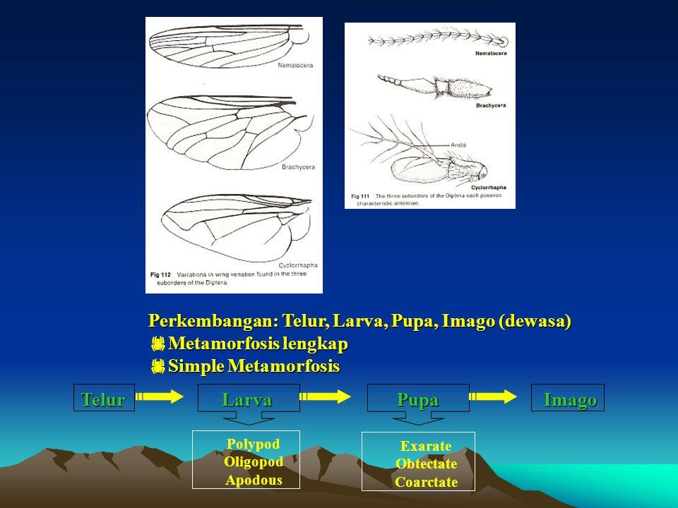 Perkembangan: Telur, Larva, Pupa, Imago (dewasa) Metamorfosis lengkap