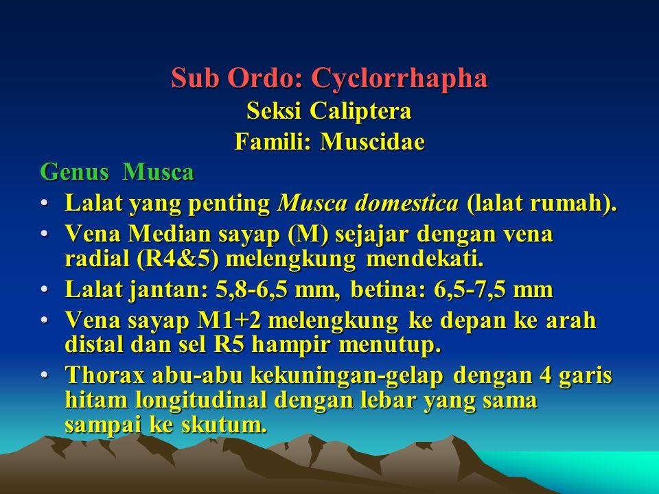 Sub Ordo: Cyclorrhapha