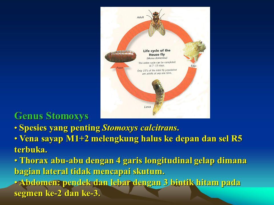 Genus Stomoxys Spesies yang penting Stomoxys calcitrans. Vena sayap M1+2 melengkung halus ke depan dan sel R5 terbuka.