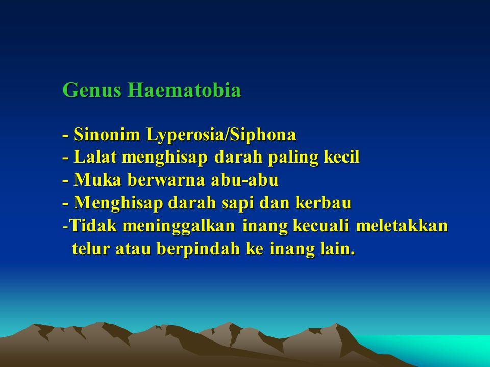 Genus Haematobia - Sinonim Lyperosia/Siphona