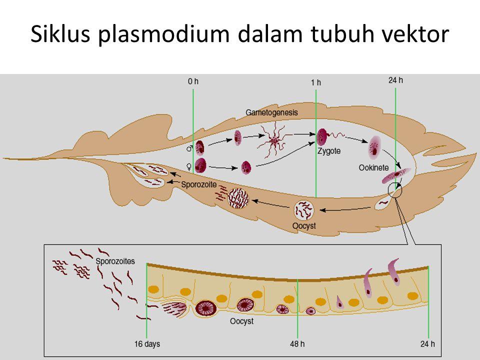 Siklus plasmodium dalam tubuh vektor