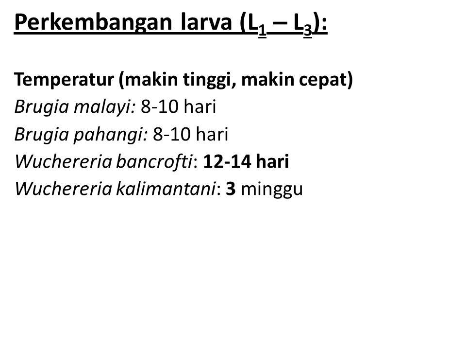 Perkembangan larva (L1 – L3):