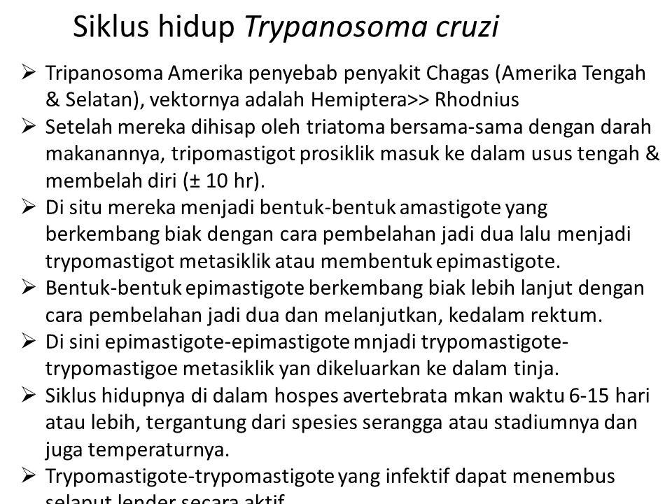Siklus hidup Trypanosoma cruzi