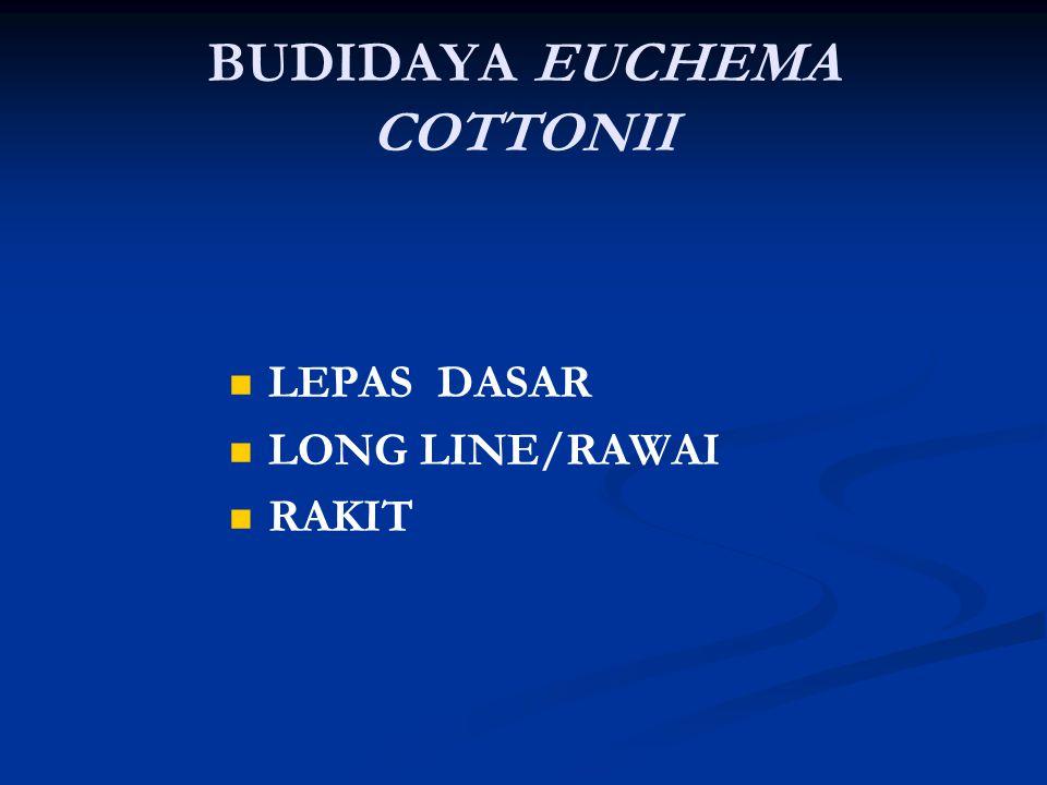 BUDIDAYA EUCHEMA COTTONII