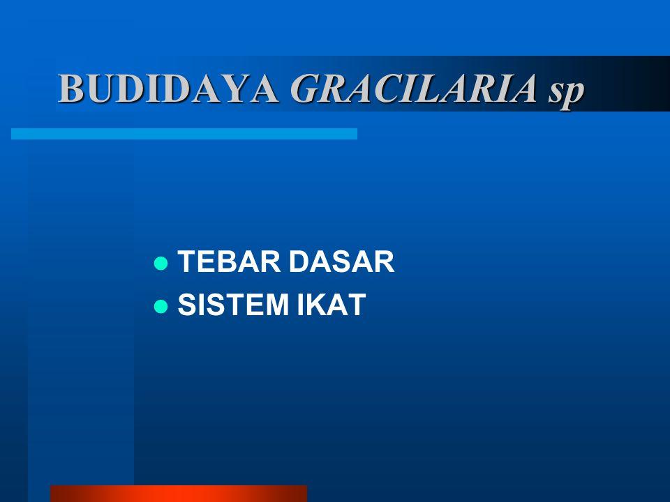 BUDIDAYA GRACILARIA sp