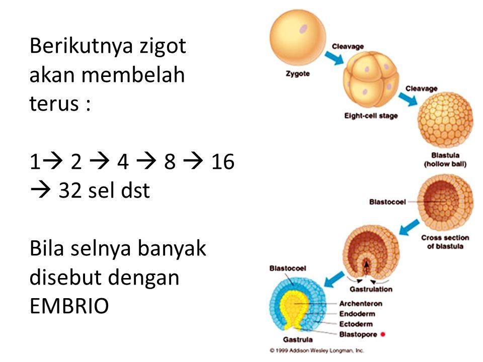 Berikutnya zigot akan membelah terus : 1 2  4  8  16  32 sel dst Bila selnya banyak disebut dengan EMBRIO