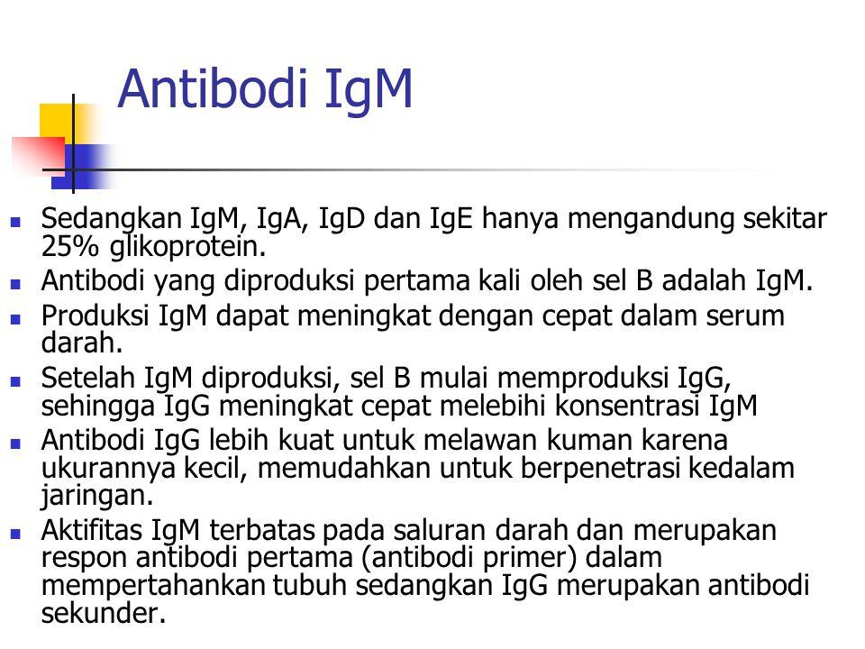 Antibodi IgM Sedangkan IgM, IgA, IgD dan IgE hanya mengandung sekitar 25% glikoprotein. Antibodi yang diproduksi pertama kali oleh sel B adalah IgM.