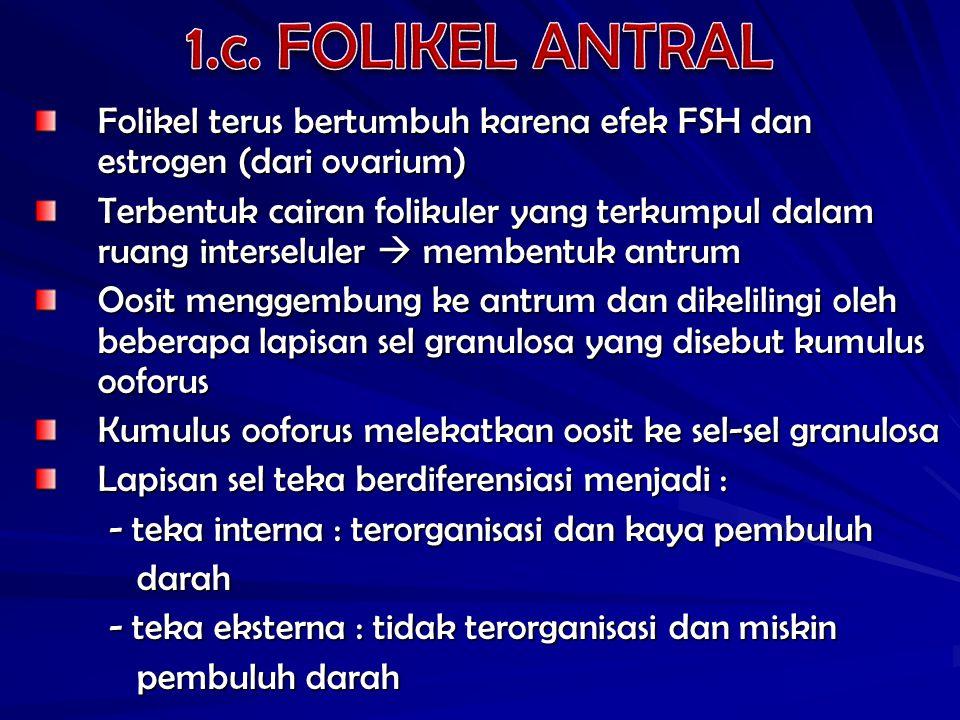 1.c. FOLIKEL ANTRAL Folikel terus bertumbuh karena efek FSH dan estrogen (dari ovarium)