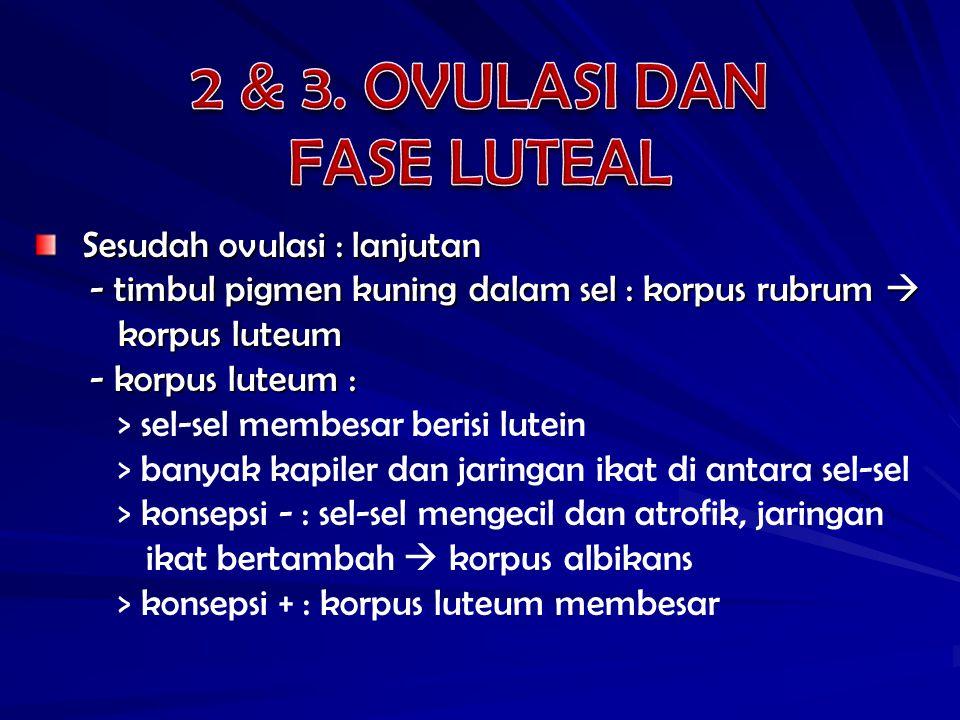 2 & 3. OVULASI DAN FASE LUTEAL Sesudah ovulasi : lanjutan