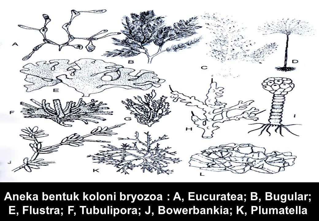 Aneka bentuk koloni bryozoa : A, Eucuratea; B, Bugular; E, Flustra; F, Tubulipora; J, Bowerbankia; K, Plumatella