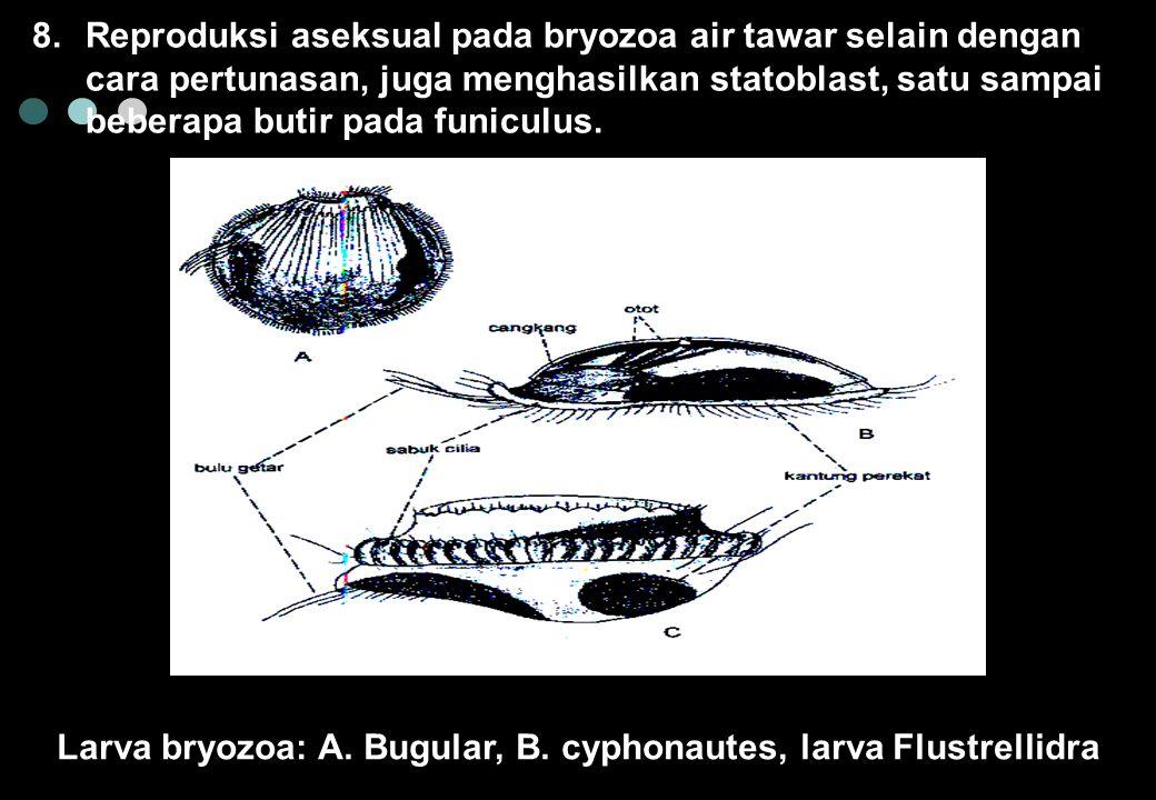Larva bryozoa: A. Bugular, B. cyphonautes, larva Flustrellidra