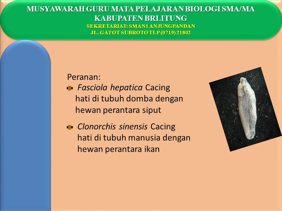 Fasciola hepatica Cacing hati di tubuh domba dengan