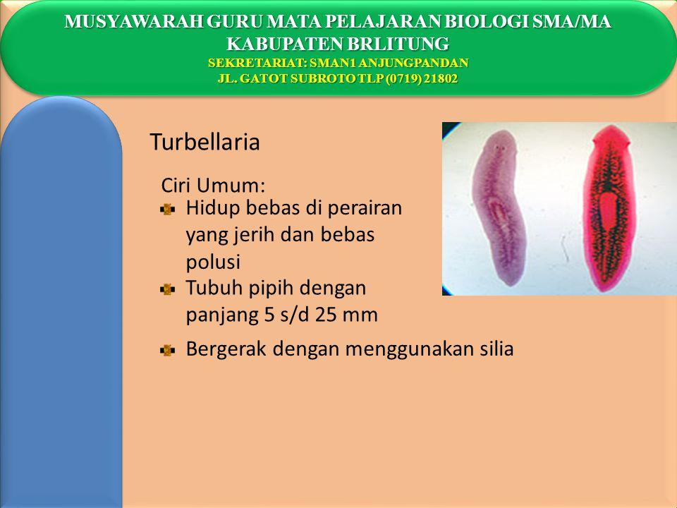 Turbellaria Ciri Umum: Hidup bebas di perairan yang jerih dan bebas