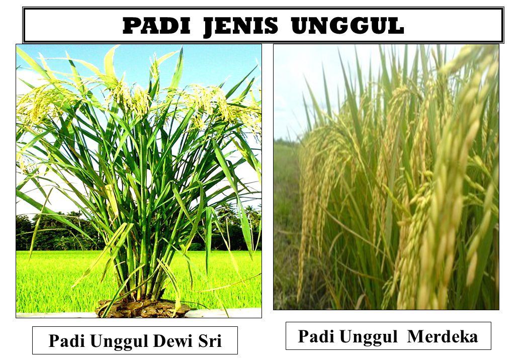 PADI JENIS UNGGUL Padi Unggul Merdeka Padi Unggul Dewi Sri