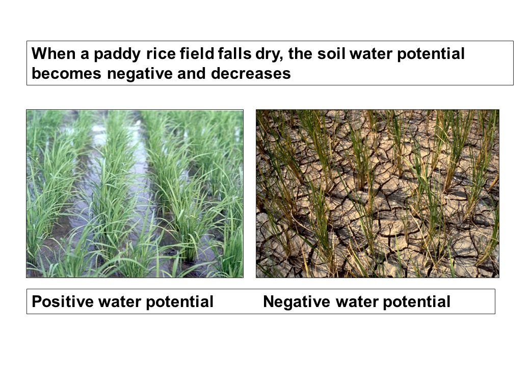 When a paddy rice field falls dry, the soil water potential