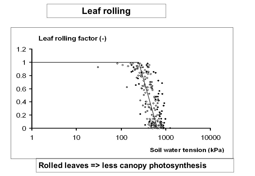 Leaf rolling Rolled leaves => less canopy photosynthesis