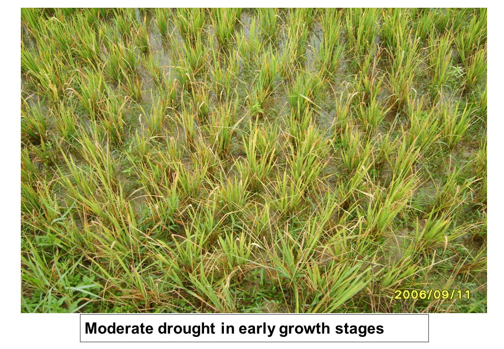 Moderate drought in early growth stages