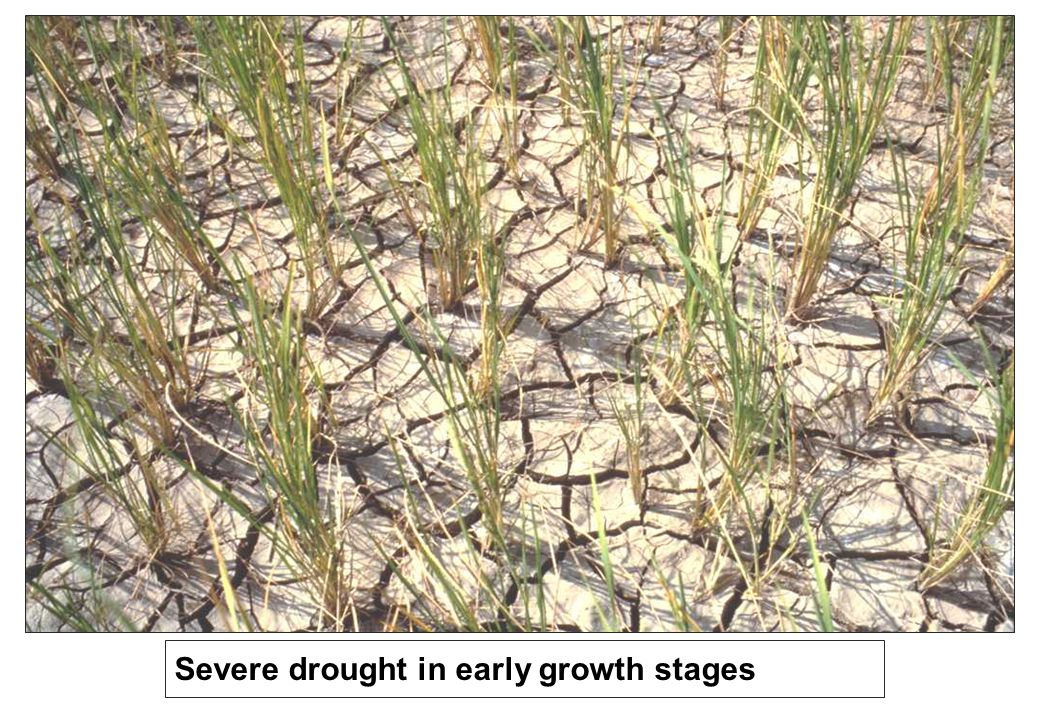 Severe drought in early growth stages