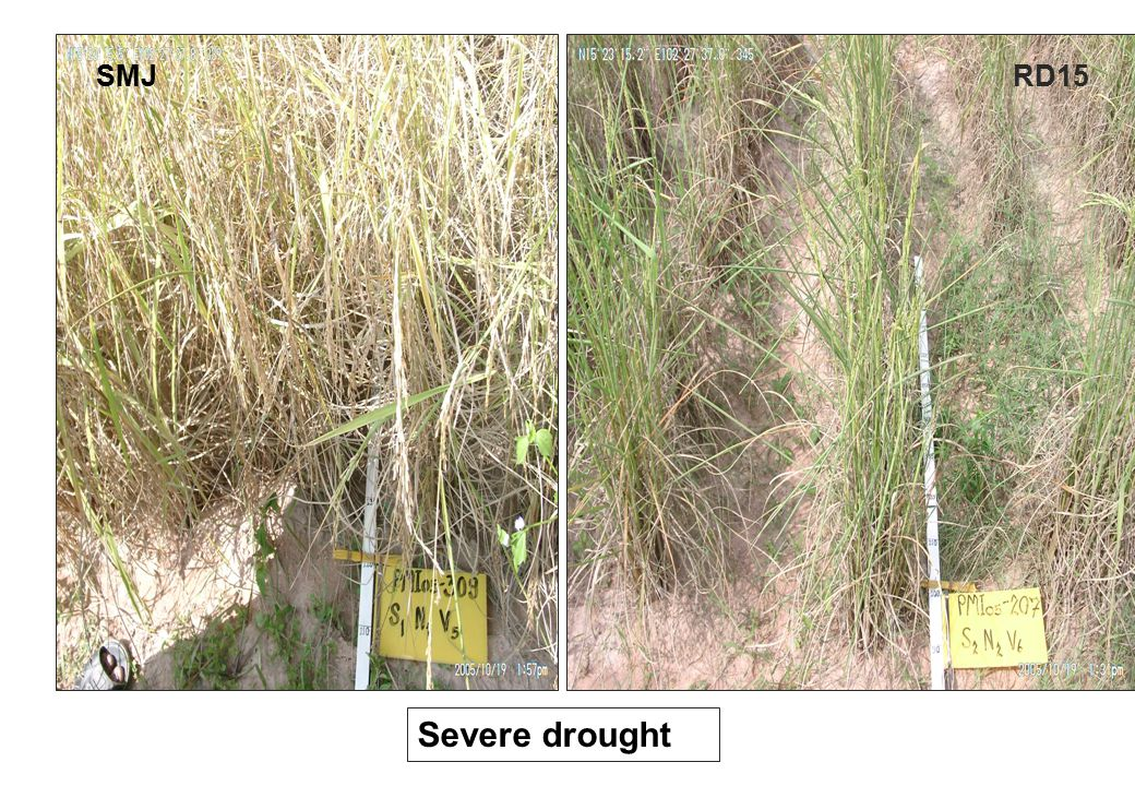 SMJ RD15 RD15 Severe drought