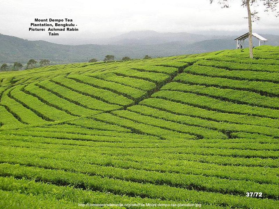 Mount Dempo Tea Plantation, Bengkulu - Picture: Achmad Rabin Taim
