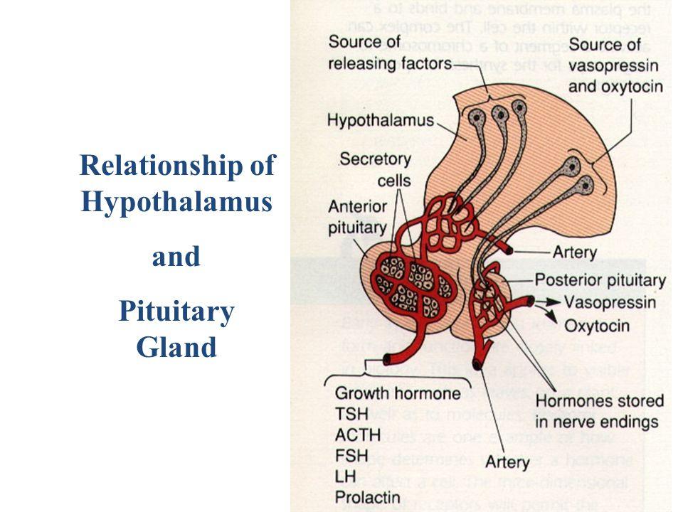 Relationship of Hypothalamus
