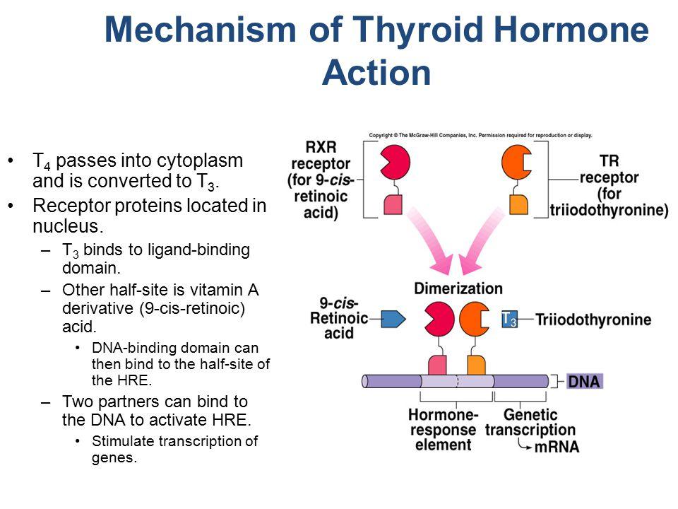 Mechanism of Thyroid Hormone Action