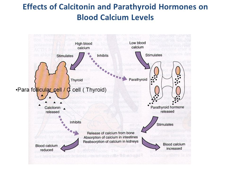 Effects of Calcitonin and Parathyroid Hormones on Blood Calcium Levels