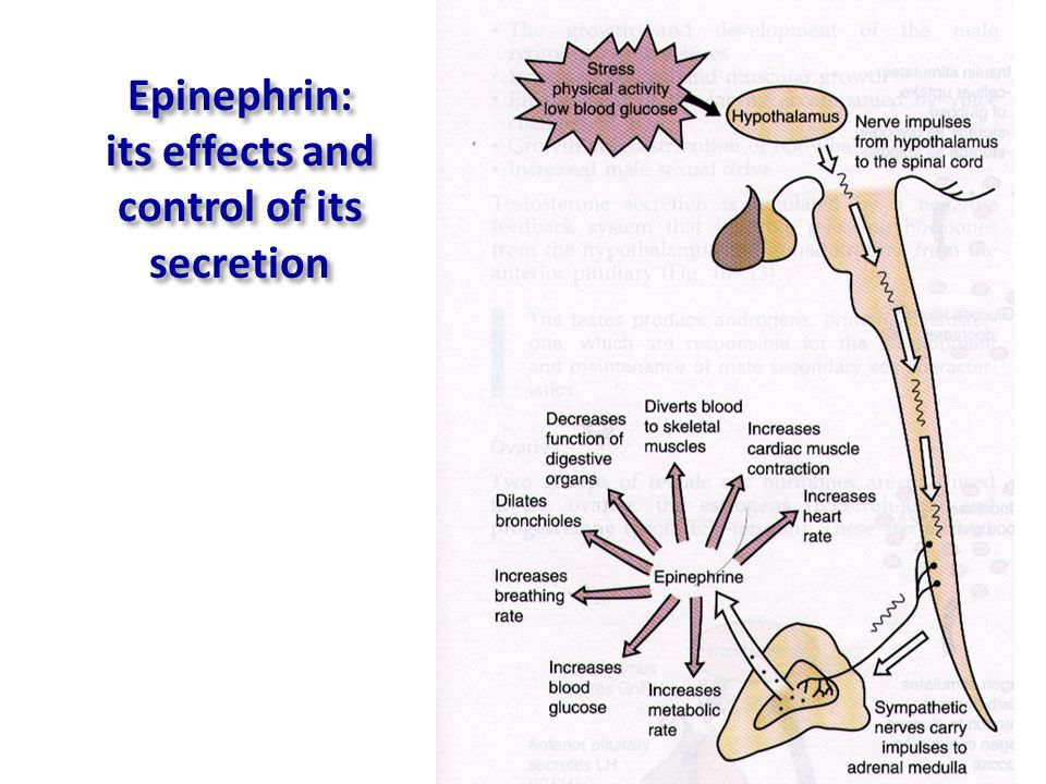 Epinephrin: its effects and control of its secretion